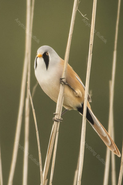 Bearded Tit at Minsmere by Steve Abbott