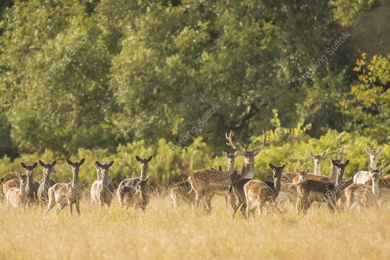 Fallow Deer, Captain's Wood at Sudbourne by Steve Abbott