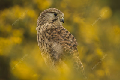 Kestrel in Rendlesham Forest by Steve Abbott