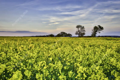 Oil Seed Rape Field at Long Melford by Emardi