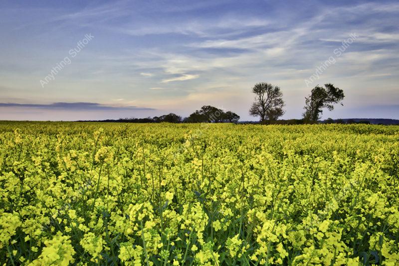 Oil Seed Rape Field at Long Melford by Emardi