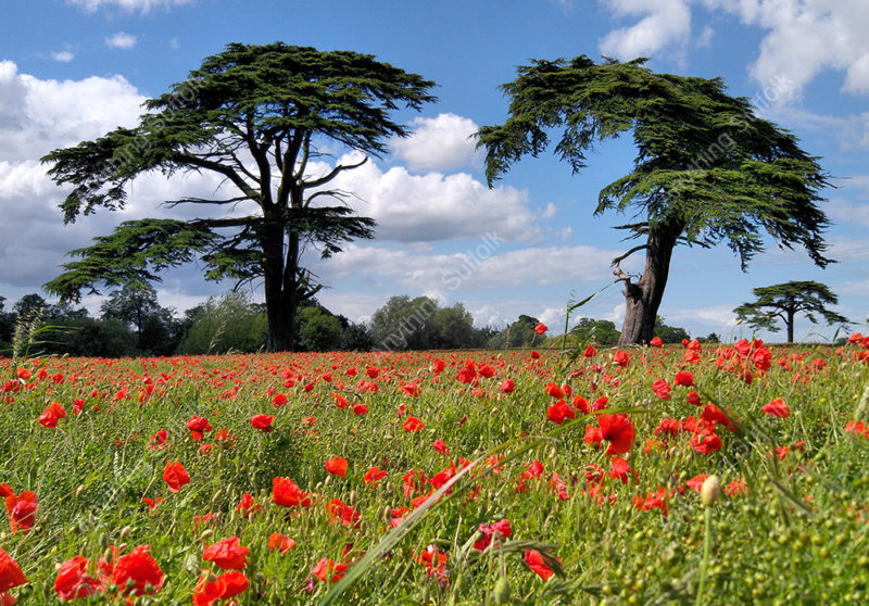 Poppies and cedars in Needham Market by Hazel Calver