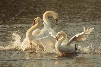 Swans at Lackford Lakes by Steve Abbott