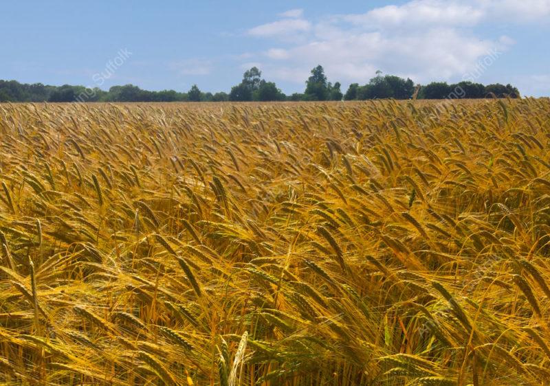 Barley field near Onehouse by Jonathan Steed
