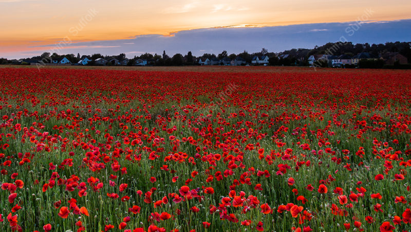 Poppies at Elmswell by James Langlois